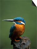 Kingfisher  (Alcedo Atthis)  Nrw  Bielefeld  Germany