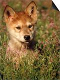 Six-week-old Wolf Pup  Colorado