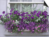 Window Box with Pelargoniums Argyranthemum  Lobelia