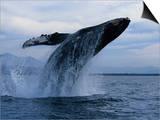 Humpback Whale  Breaching  Puerto Vallarta