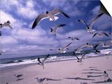 Gulls Flying Over Beach  Ocracoke Island  NC