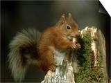 Red Squirrel  Summer Coat  Scotland