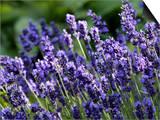 Lavandula Angustifolia (Lavender)  Blue Flowers in Dappled Sunlight