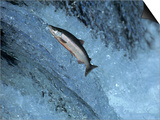 Red Salmon Swimming Upstream  Katmai  AK