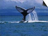 Humpback Whale  a Whale Tail Slapping  Sainte Marie Island  Indian Ocean