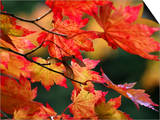 Acer Japonicum Vitifolium (Vine-Leaved Full Moon Maple)