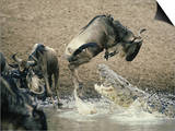 Nile Crocodile  Attacks Wildebeest  Serengeti  Tz