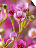 Chamaelaucium Uncinatum (Wax Flower)  Close-up of Flowers