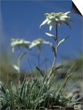 Edelweiss  Flower  Switzerland