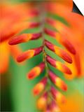 "Crocosmia ""Venus"" Close-up of Red/Orange Flower"