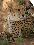 Cheetah  Nambia Africa
