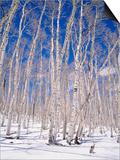 Aspen Trees During Winter  Dixie National Forest  Utah  USA