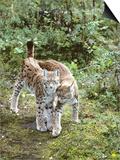 European Lynx  Female and Male  Northeast Finland