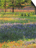 Late Afternoon Light on Meadow of Texas Paintbrush and Bluebonnets