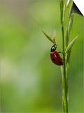 7-Spot Ladybird  Climbing up Grass Stem  Rutland  UK