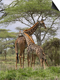 Masai Giraffe Mother and Young  Serengeti National Park  Tanzania  Africa