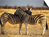Two Zebras Crossing Heads