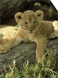 Lion  Panthera Leo 6 Week Old Cub Masai Mara  Kenya