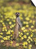 Meerkat (Suricata Suricatta)  Kgalagadi Transfrontier Park  South Africa  Africa