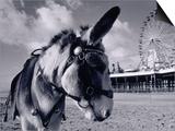 Donkey at Shorefront  Blackpool  England