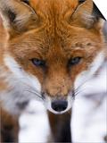 Red Fox  Portrait of Face  Lancashire  UK