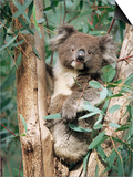 Koala Bear  Phascolarctos Cinereus  Among Eucalypt Leaves  South Australia  Australia