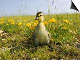 Mallard  Duckling in Wildflower Meadow  UK