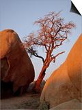 Bare Tree Among Boulders at Sunrise  Joshua Tree National Park  California