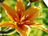 "Lilium ""Fire King"" Close-up of Orange Flower Sweden"