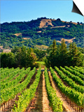 Grape Vines in Northern California Near Mendocino