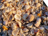 Sanibel Island  Famous for the Millions of Shells That Wash up on Its Beaches  Florida  USA