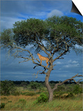 Cheetah in a Tree  Kruger National Park  South Africa  Africa