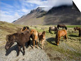 Icelandic Horses With Volcanic Mountains in the Distance  South Iceland  Iceland  Polar Regions
