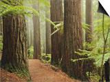 Redwoods and Tree Ferns  the Redwoods  Rotorua  Bay of Plenty  North Island  New Zealand  Pacific