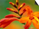 "Crocosmia ""Venus "" Close-up of Orange/Red Flower Head"