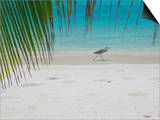 Heron Wading Along Water's Edge on Tropical Beach  Maldives  Indian Ocean