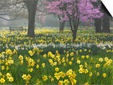 Daffodils and Blossom in Spring  Hampton  Greater London  England  United Kingdom  Europe