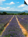 Lavender Fields around Roussillon  Parc Naturel Regional Du Luberon  Vaucluse  Provence  France  Eu