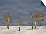Aspen Trees on a Snow-Covered Hillside  San Miguel County  Colorado  USA  North America