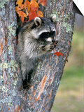 Raccoon (Procyon Lotor) in its Den in a Hollow Maple Tree (Acer)  North America