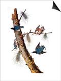 Audubon: Nuthatch