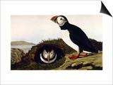 Audubon: Puffin  1827-38
