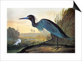 Audubon: Little Blue Heron