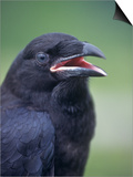 Common Raven Head (Corvus Corax)  North America