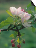 Crabapple Blossoms and Flower Buds  Malus
