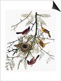 Audubon: Oriole