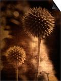 Sepia Dandelions
