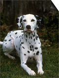 Dalmatian Variety of Domestic Dog