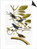 Audubon: Bunting  1827-38