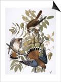 Audubon: Kestrel  1827